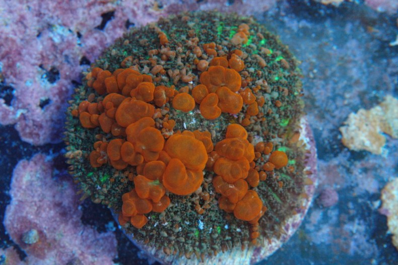 WWC Sunkist Bounce mushroom