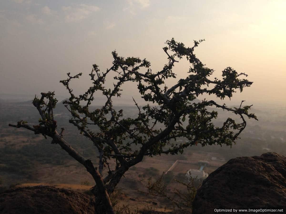 Arbre à Aurangabad