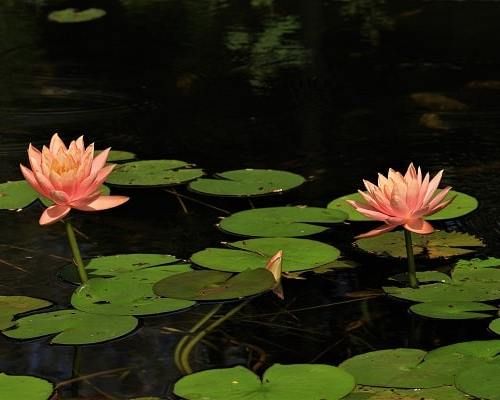 lotus, jardin moghol, mughal garden