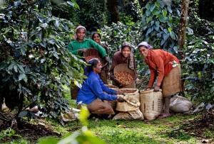 café en Inde, coffee in India