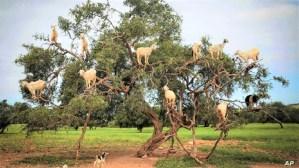 قدمه المغرب.. الأمم المتحدة تستعد لاعتماد قرار إحداث يوم عالمي لشجرة الأركان