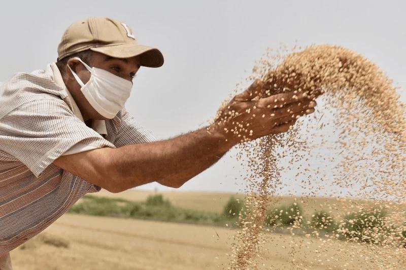 إنتاج يلامس 100 مليون قنطار.. اتخاذ تدابير تحفيزية لتسويق الحبوب المغربية