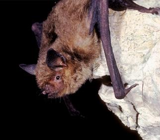 A gray myotis bat. (Alabama Department of Conservation and Natural Resources)