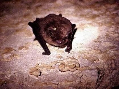 A gray bat, one of three endangered bat species in Alabama. (Keith Hudson/Alabama Department of Conservation and Natural Resources)