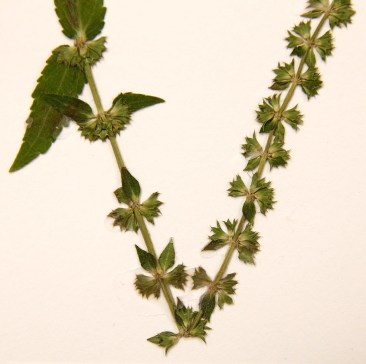 Stachys alabamica is one of two variations of the mint plant discovered by two Alabama professors. The plants have been found in only one area of Alabama. (Gary Cosby Jr./The Tuscaloosa News)