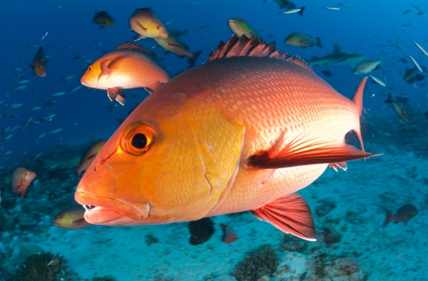 Some anglers believe the federal government has underestimated the stock of red snapper in Alabama's waters. (Getty Images)