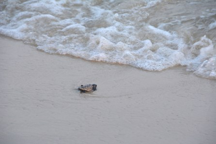Thanks to Share the Beach, this baby turtle is about to reach the ocean instead of being drawn inland by the lights along the shore. (Karim Shamsi-Basha/Alabama NewsCenter)