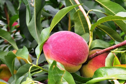 The Chilton County Peach Festival wil feature a variety of entertainment including the Peach Jam Festival. (Contributed)