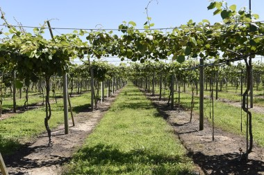 Growing golden kiwi is a complex operation, but the Southeast Kiwi Farming Cooperative will be sending fruit to market this fall. (Phil Free/Shorelines)