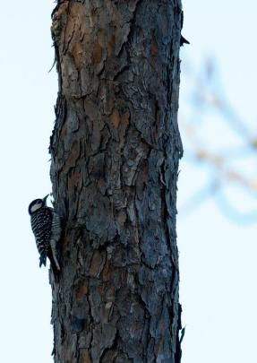 The red-cockaded woodpecker population is showing some sings of recovery on Alabama Power's Lake Mitchell. (Nik Layman / Alabama NewsCenter)