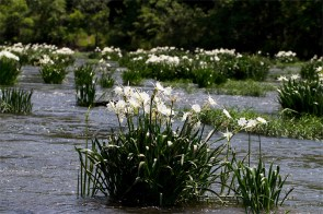Live stream the annual Cahaba Lily Festival May 16. (Lance Shores)