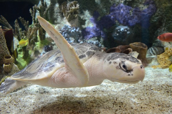 Kale, the Kemp's ridley sea turtle, came to the Cook Museum of Natural Science in June. (Cook Museum of Natural Science)