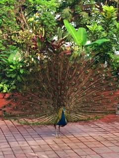 Mumbai 4--peacock