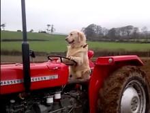 Hund kör traktor