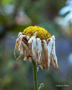 Flor cuyo paso del tiempo ha secado sus pétalos.