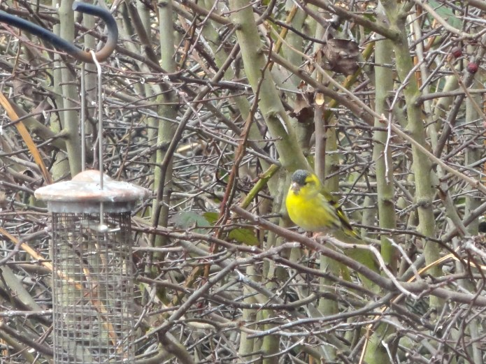 Siskin visits the feeders