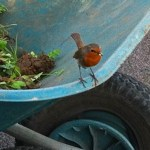 The robin - a gardener's companion