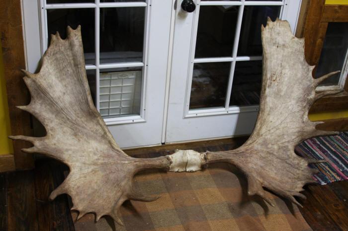 Large moose racks for sale and moose antler sets