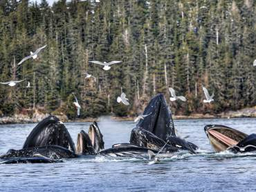 Humpback Whales Cooperatively Feeding
