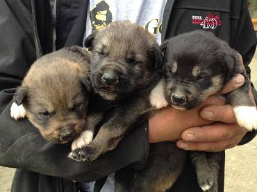 Three Sled Dog Puppies