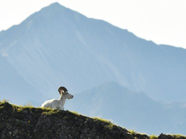 Dall Sheep on Mountain Ridge
