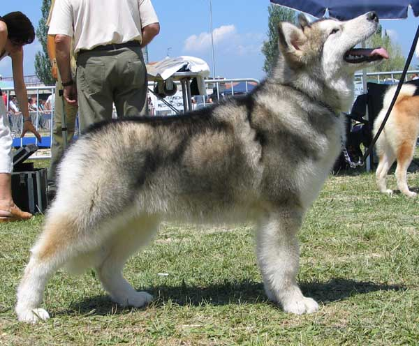 There is a long list of why dogs are such a wonderful companion to have, some of the reasons include their loyal nature, their loving disposition, and protective instincts. Dog Information About Sweet Home Alabama De Circulo Polar De La Coleen D Urok The Alaskan Malamute Mobile Version
