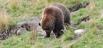 Bear viewing in Denali Park