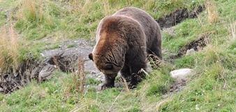 Bear viewing in Denali Park
