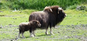 Musk Ox Farm tour