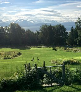 Front yard in Homer with sandhill cranes