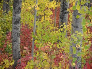 Birch and blueberry foliage in fall