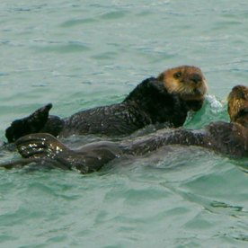 A pair of otters in Kachemak Bay
