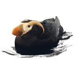 Puffin floating