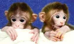 Genleriyle oynanmış üç maymun