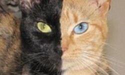 """""""İki yüzlü"""" kedi görenleri şaşırtıyor"""
