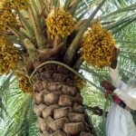 سلطنة عمان والذهب الأخضر
