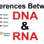 """الفرق بين dna و rna بالتفصيل """" شامل """""""