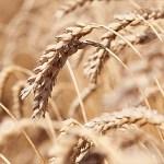هل مرض حساسية القمح خطير وماهي الاطعمة الممنوعة للمريض