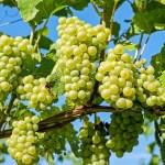 تفسير حلم قطف العنب في المنام لابن سيرين