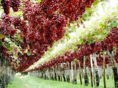 تفسير حلم اكل العنب الاخضر للمتزوجه والحامل والعزباء