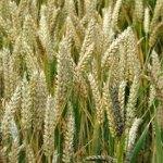 تفسير حلم زرع القمح في المنام لابن سيرين