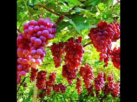 تفسير حلم شراء العنب في المنام لابن سيرين