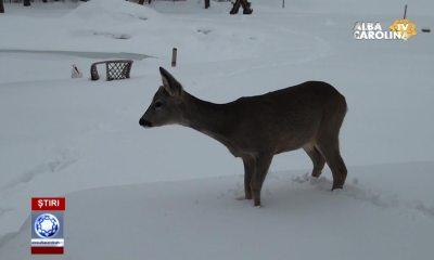caprioara-iarna