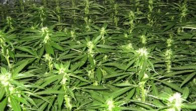 Lazarat, la città della cannabis in Albania