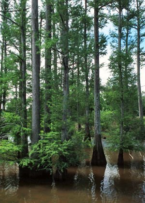 Louisiana Bald Cypress: Offical State Tree, 1963