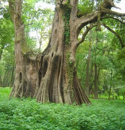 "50,000 yr old Alabama Cypress forest proves nickname ""Wood Eternal"""
