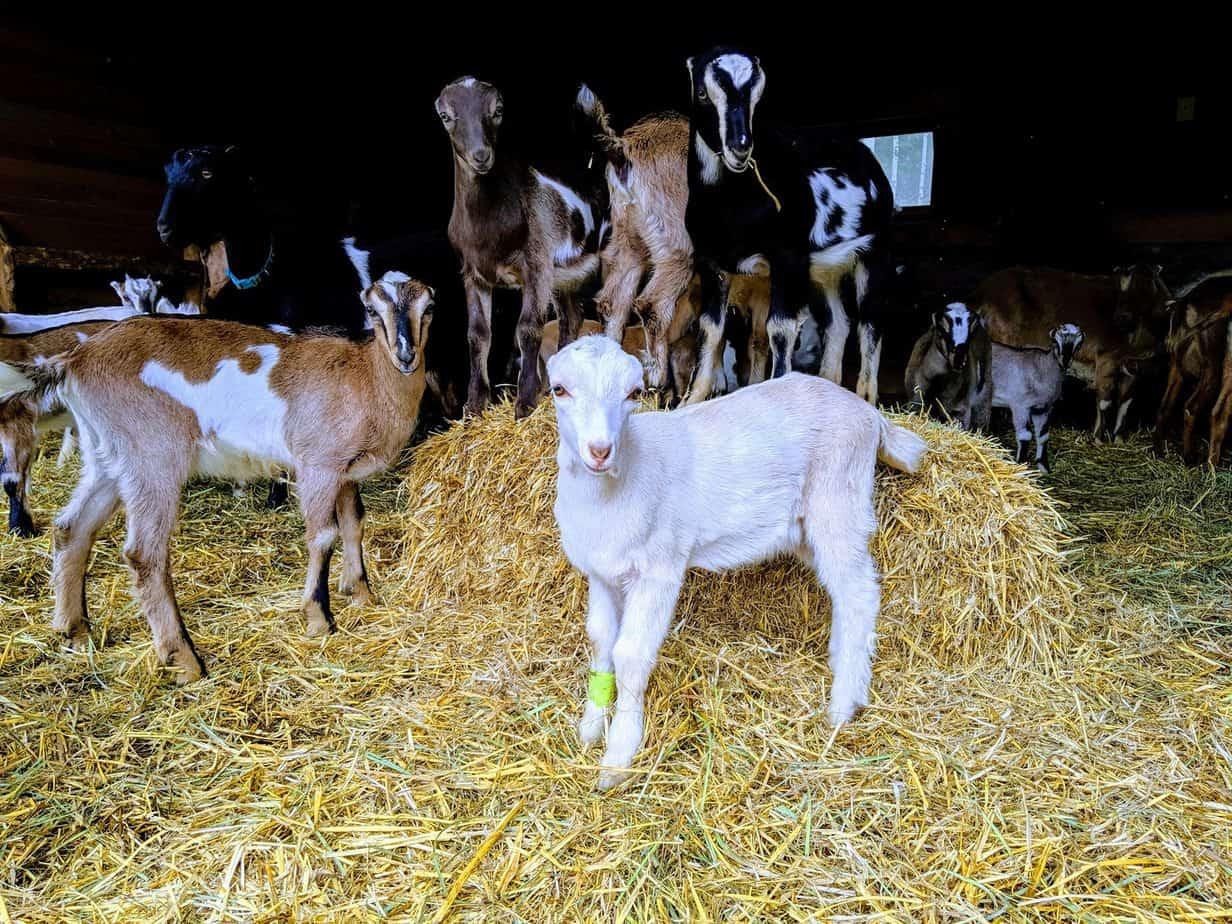 early dawn farm goats