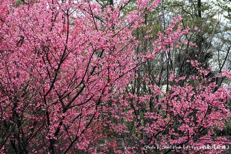【櫻花】桃園龜山.壽山櫻花園(可以祈福兼賞櫻的好地方)