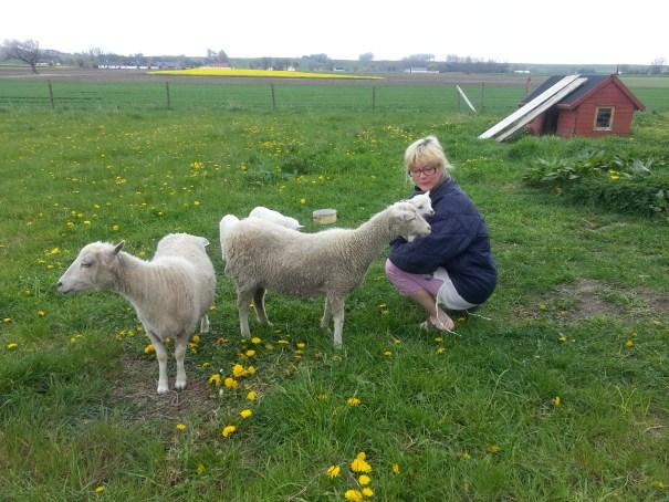 Albertslunds Gård fåren