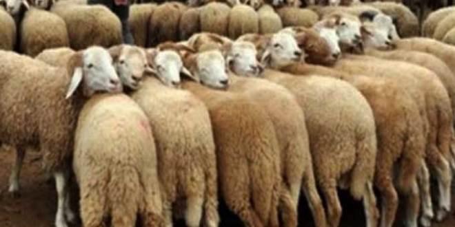 القيروان : انطلاق حملة تلقيح قطيع الاغنام والابقار